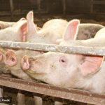 Cena svinja porasla na 160 do 165 dinara